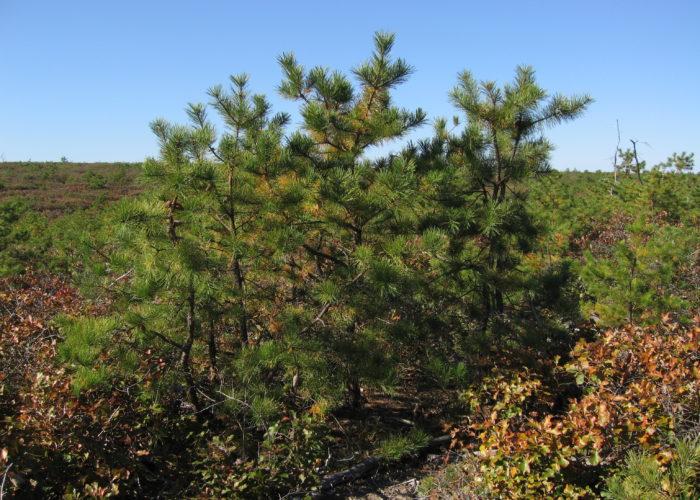 Long Island Pine Barrens - Dwarf Pine Plains