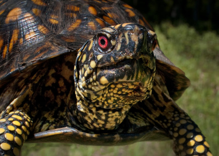 Long Island Endangered Species Eastern Box Turtle