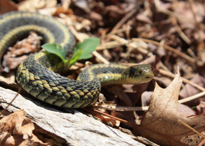 Garter Snake in the Long Island Pine Barrens