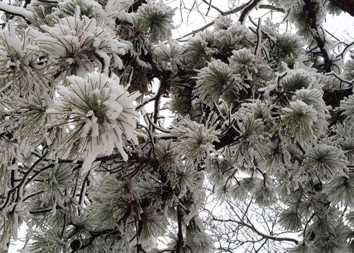 Long Island Pine Barrens Pitch Pine Snow