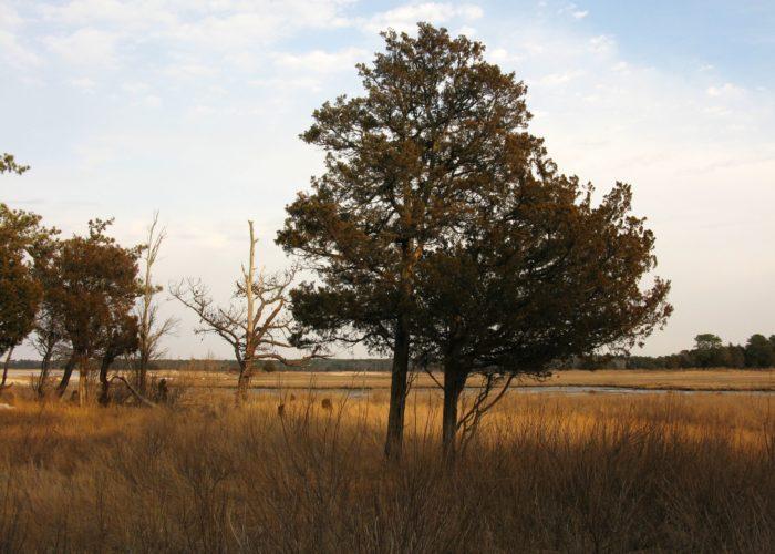 Red Cedars Long Island Pine Barrens