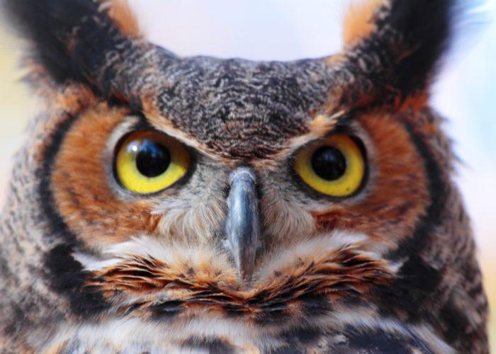 Long Island Bird Great Horned Owl